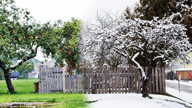 Blick auf dieselbe Gruppe von Apfelbäumen zur Sommers- und Winterzeit