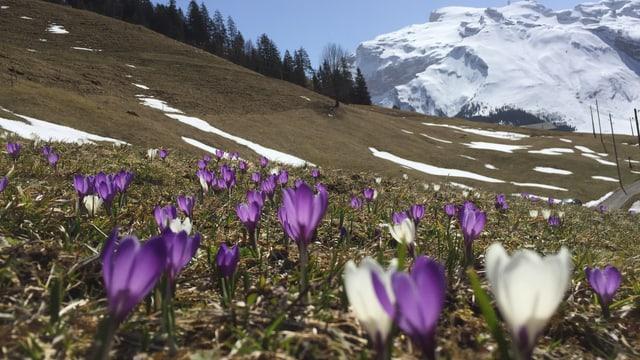 Blumen auf aperer Bergwiese ob Engelberg.