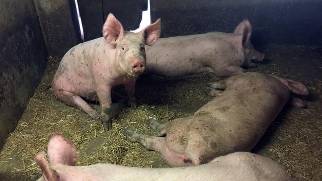 Schweine liegen und sitzen im Stroh.