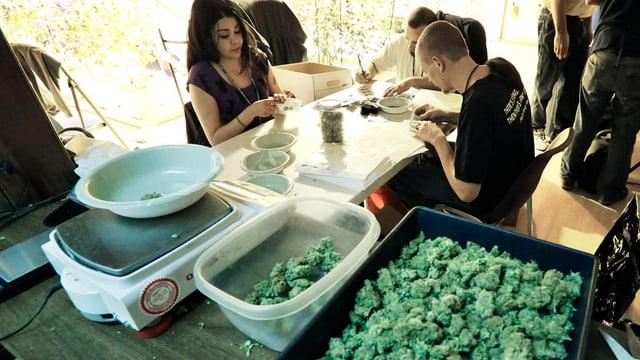 Ein und eine Frau sortieren Marihuana-Pflanzen auf einem Tisch
