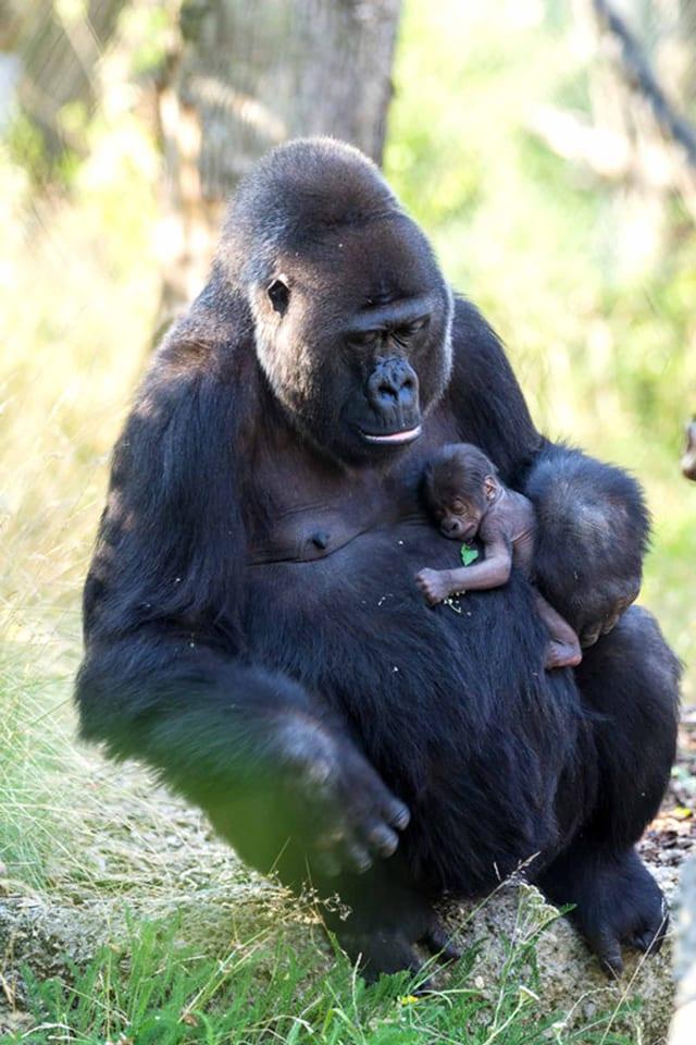 Die Gorillamutter hält ihr Baby.