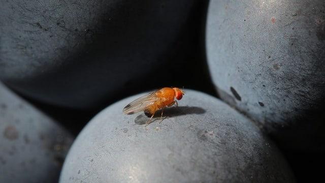 Ina mustga drosofila suzukii sin ina iva.