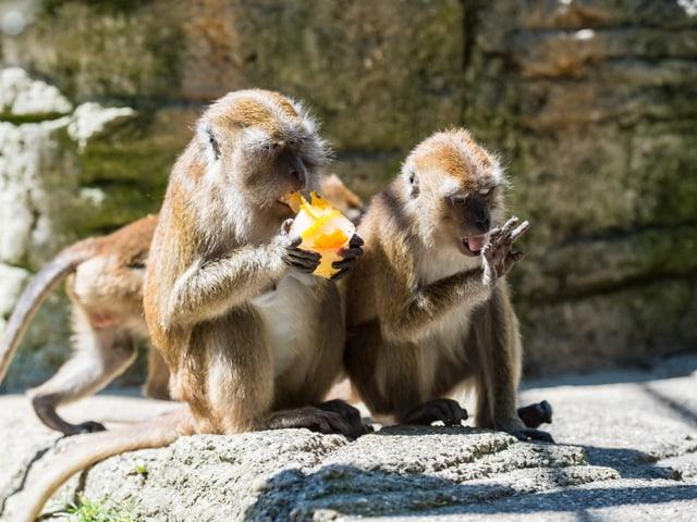 Zwei Affen auf dem Felsen
