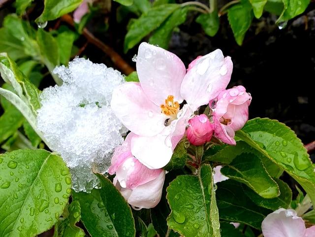 Blume mit Schnee.