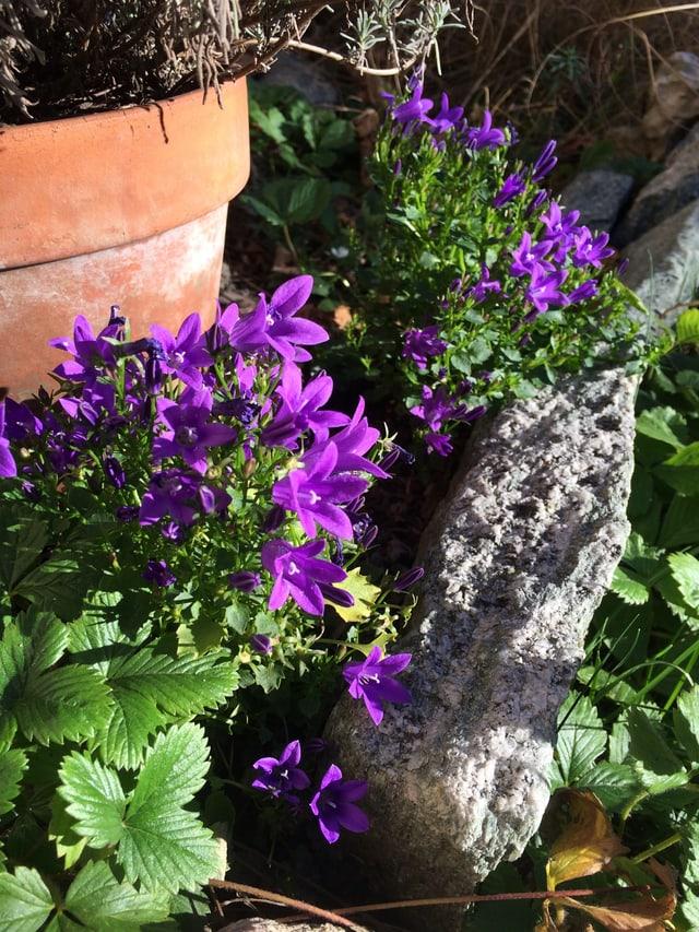 Violette Blüten in einem Garten.