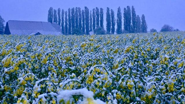 Schneebedecktes Rapsfeld.