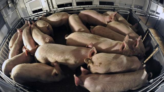 Schweine in einem Schlacht-Transporter.