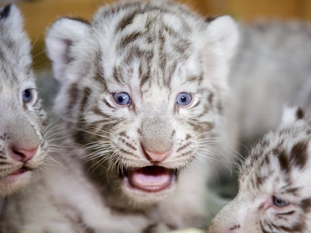 Tigerbabies