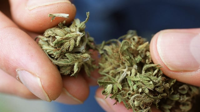 Persuna che tegna cannabis enta maun