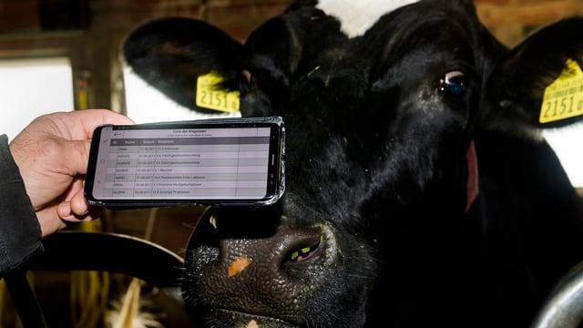 Eine Kuh in einem Stall.