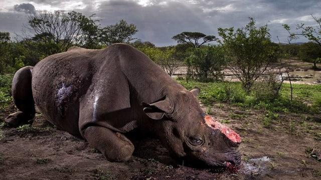 Ein gewildertes Nashorn mit abgetrenntem Horn.
