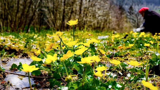 Gelbe Blumen an einem kleinen Bach..