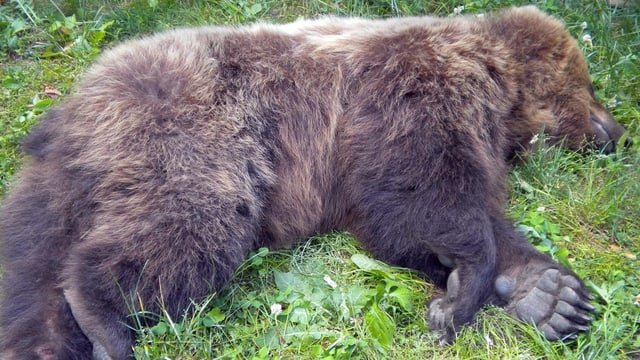 Der tote Braunbär M13 liegt im Gras