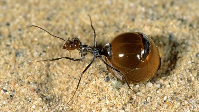 Ameise mit kugelrundem Hinterleib, der eine honigfarbene Flüssigkeit enthält