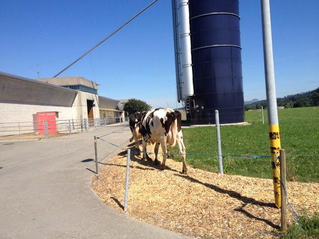 Kühe laufen in Richtung eines Stalles.
