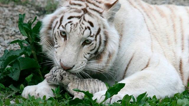 Eine weisse Tiger-Dame und ihr Junges.