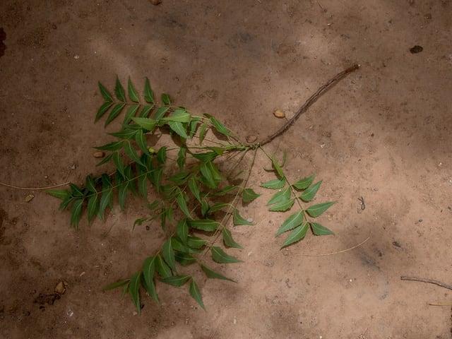 Ein Zweig mit kleinen grünen Blättern