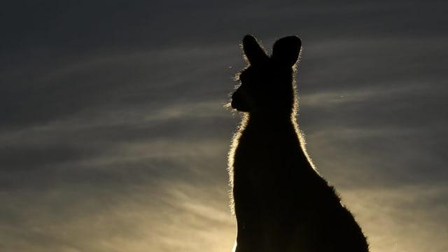 Känguru von hinten.