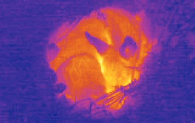 Wärmebild eines Rehkitzes im Gras.
