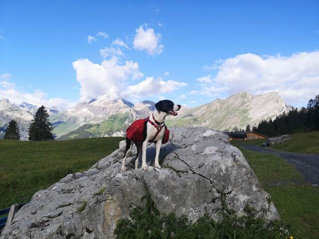 Wanderhund in den Bergen