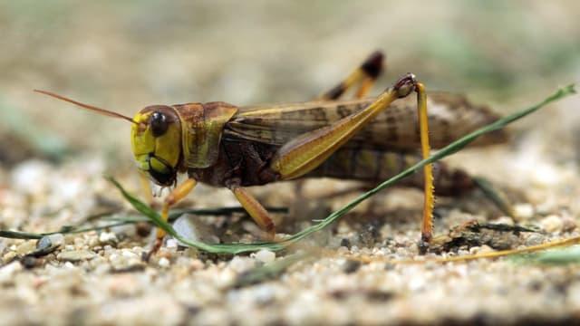 Nahaufnahme einer Heuschrecke