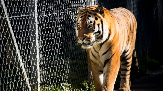 Tiger im Käfig in einem Schweizer Zoo