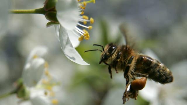 Eine Biene im Landeanflug auf eine Blüte.