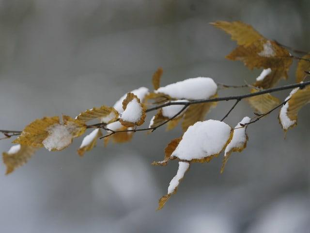 Blätter bedeckt mit Schnee.