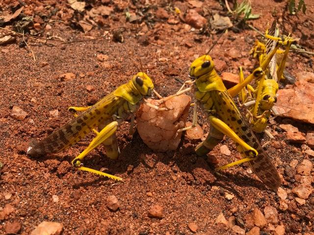 Zwei Heuschreckenweibchen legen Eier in den Boden.