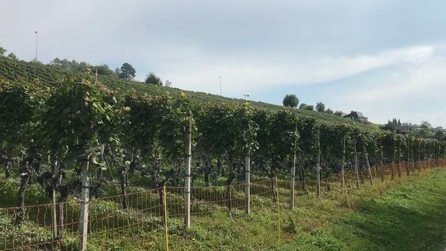 Aargau ist auch ein «Weinkanton»