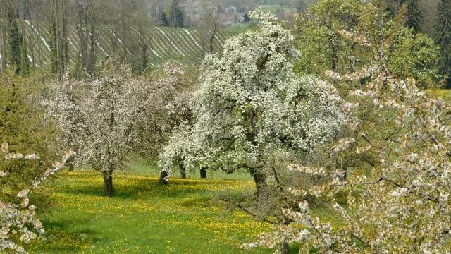Hochstammbäume im Kanton Thurgau