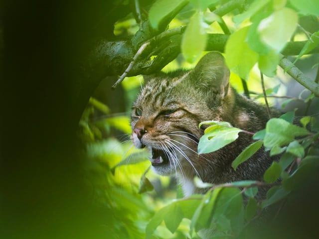 Katze knurrt