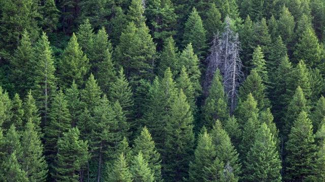 Blick auf einen grünen Nadelwald