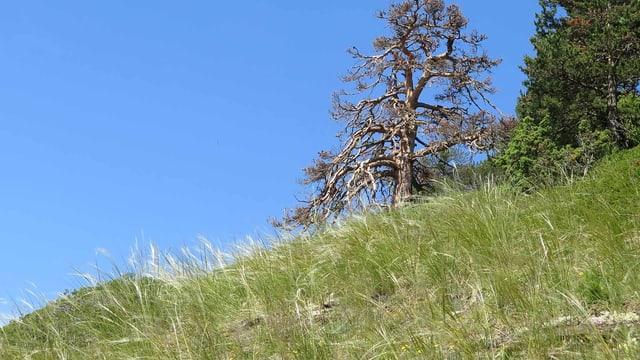 Trockenwiese in den Schweizer Alpen vor blauem Himmel