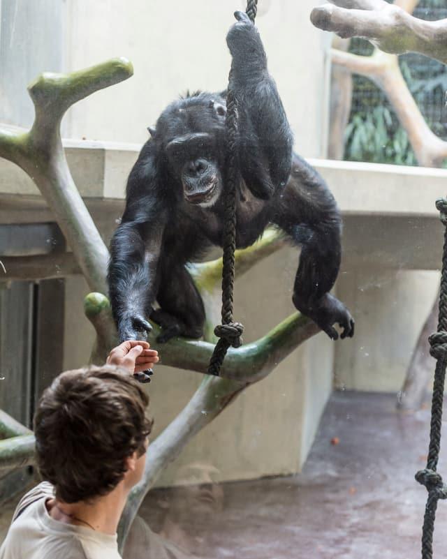 Hey Tschau! Schimpansin Jackie mag Tierarzt Stefan Hoby und gibt ihm durch die Scheibe die Hand
