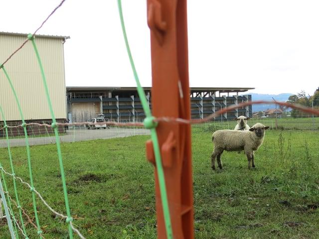 Schafe mähen das Gras vor dem Depot in Schwarzenburg.