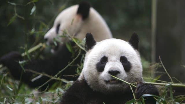 Pandabären, die fressen.