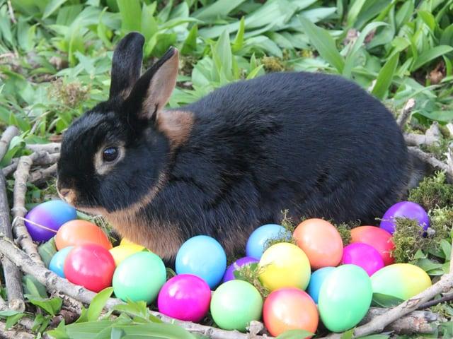 Ein Hase sitzt im Körbchen bei den gefärbten Ostereiern.
