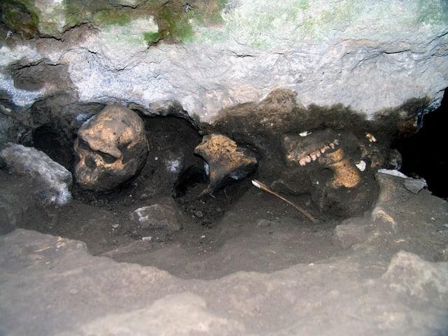 Neben dem Schädel die Überreste eines Pflanzenfressers am Fundort.