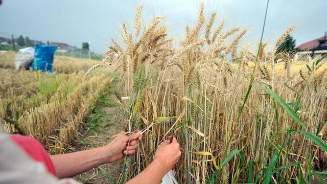 Ein Forscher arbeitet auf deinem Weizenfeld.