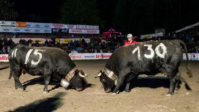 die Kühe Frégate und Castagne stehen sich bei ihrem Kampf in der Finalrunde gegenüber.