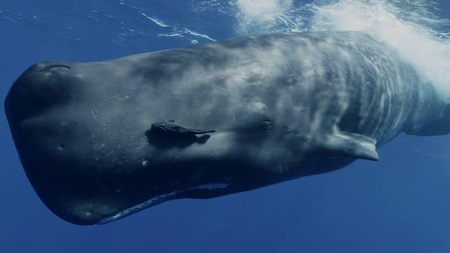 Video «Meeressäugetiere – Wale und Delfine in ihrem Element» abspielen