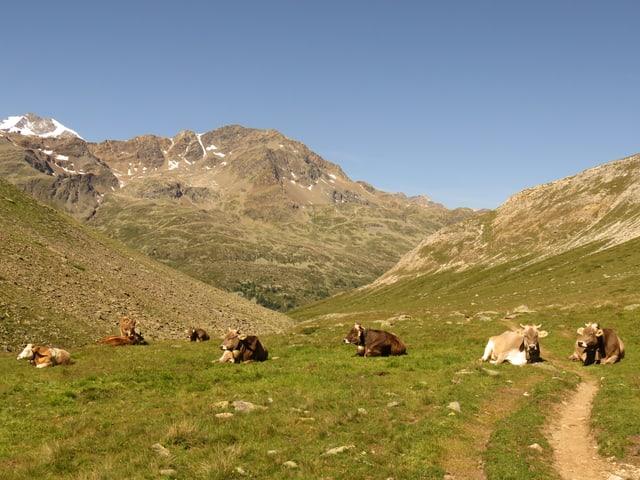 Kühe liegen auf einer schwach grünen Almwiese, im Hintergrund Berggipfel, der Himmel darüber ist blau.