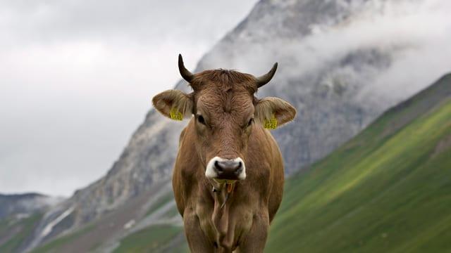 Eine Kuh blickt in die Kamera.
