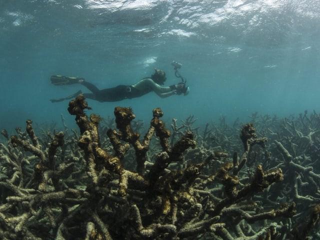 Taucher schwimmt durch abgestorbene Korallen.