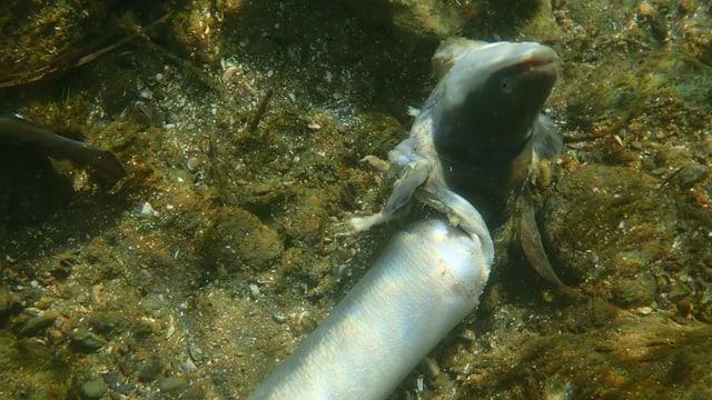 ein Aal, der in der Mitte zerfetzt ist