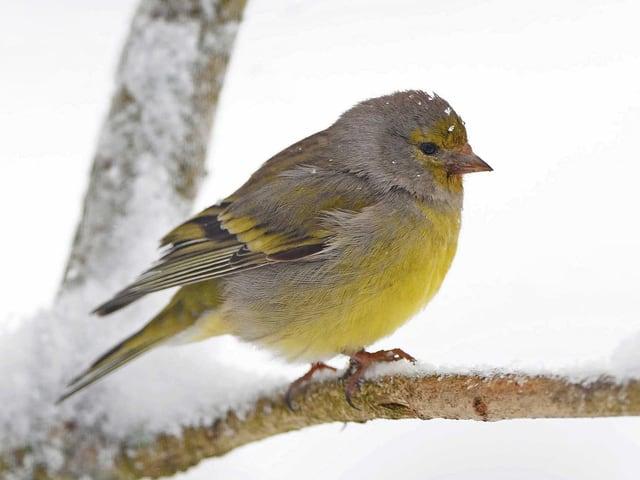 Ein Vogel sitzt auf einem verschneiten Ast