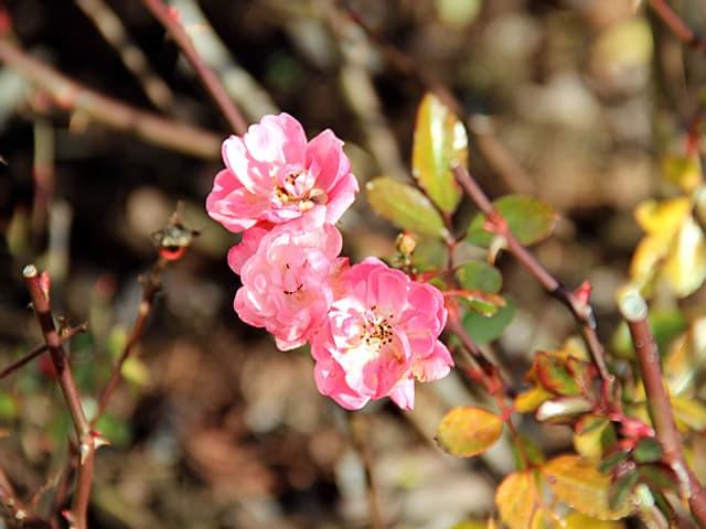 Kleine rosarote Rosenblüten.