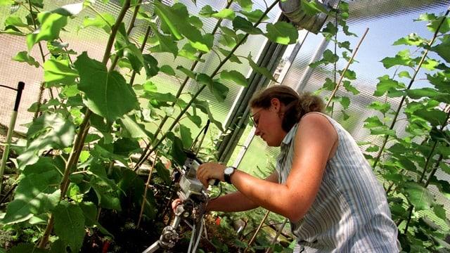 Eien Frau steht in einem Gewächshaus und untersucht Pflanzen