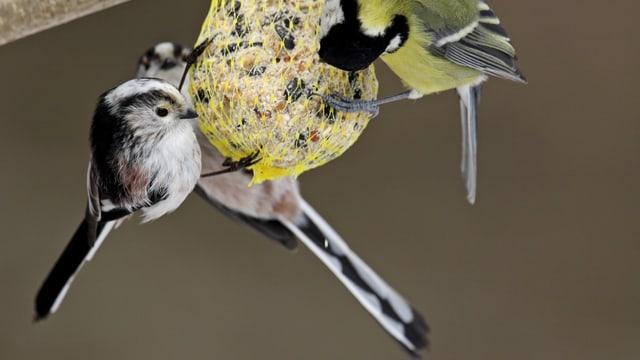 Vögel mit lagen schwarzen Schwänzen picken an einem Netz mit Vogelfutter.